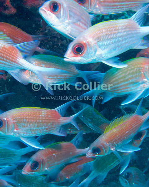 St. Eustatius (Statia) Underwater - For this scuba photograph, I swam straight into the crush of fish (squirrelfish) that was hanging out just under the reef, just before they all bolted.  © Rick Collier