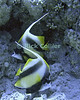 Red Sea, Sharm el-Sheikh, Egypt.  Red Sea Bannerfish cruise the reef at Ras Mohammed National Park.  © Rick Collier<br /> <br /> <br /> <br /> <br /> <br /> scuba diver divers Egypt 'Red Sea' 'Ras Mohammed' Sharm 'Sharm el-Sheikh' 'Sharm al-Shaykh' underwater u/w blue coral reef banner fish bannerfish