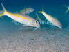 """St. Eustatius (Statia) Underwater - Any scuba dive in the Caribbean offers a good chance to see this fish (Grunts) using their """"whiskers"""" to stir the sandy bottom as they hunt for food.  © Rick Collier"""