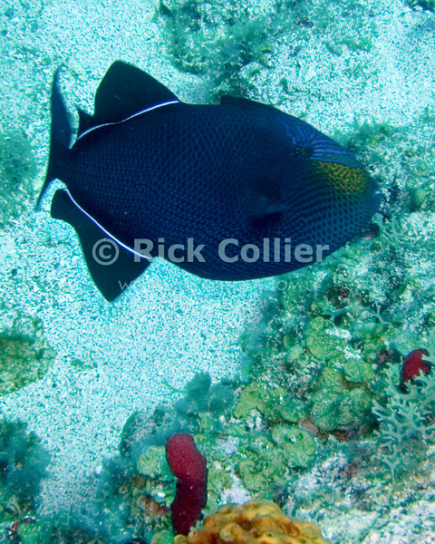 "The black durgeon is a triggerfish.  Though divers don't usually get close enough to see it, the fish is actually blue, with a yellow face.  St. Eustatius (Statia), Netherlands Antilles.<br /> <br /> <br /> <br /> <br /> ""St. Eustatius"" ""Saint Eustatius"" Statia Netherlands Antilles ""Lesser Antilles"" Caribbean underwater diving ocean SCUBA dive reef sand bottom sandy sea floor sea bed coral fish black durgeon"