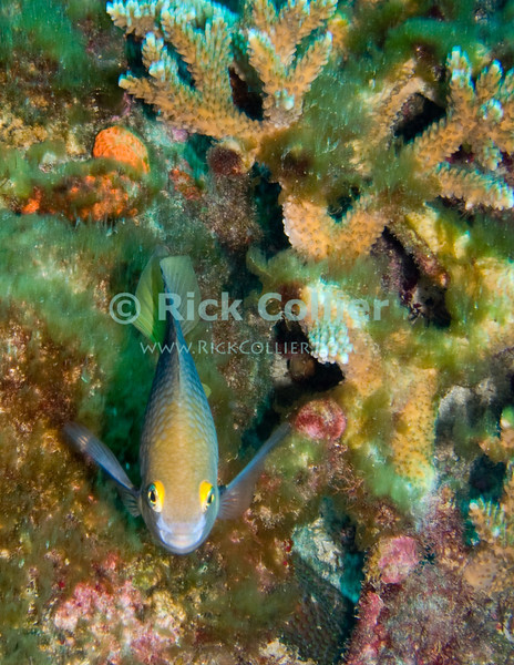 St. Eustatius (Statia) Underwater - This kind of fish (Damselfish) is small but unafraid and very territorial.  They commonly will try to chase divers away.  This one had me in his sights as I cruised past his coral hideout on the reef.  © Rick Collier