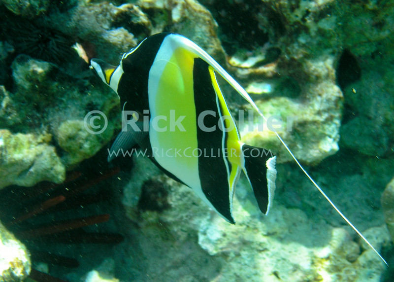 A Moorish Idol snaps up a bit of food.  Kahaluu Bay, Kona side, the Big Island, Hawaii.<br /> <br /> <br /> <br /> <br /> <br /> Hawai'i Hawaii Kahaluu Bay Kona big island underwater snorkel snorkeling scuba u/w fish reef coral Moorish Idol