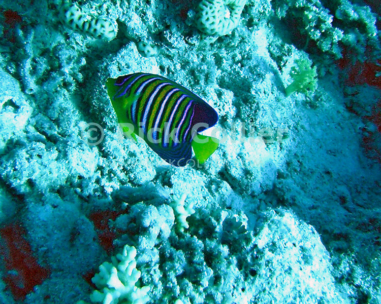 Red Sea, Sharm el-Sheikh, Egypt.  The Red Sea royal angelfish is spectacular.  © Rick Collier<br /> <br /> <br /> <br /> <br /> <br /> scuba diver divers Egypt 'Red Sea' 'Ras Mohammed' Sharm 'Sharm el-Sheikh' 'Sharm al-Shaykh' underwater u/w blue coral reef angel royal angelfish