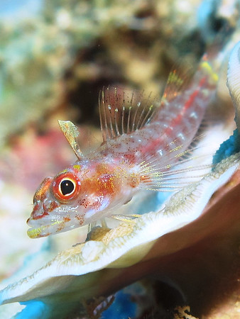 ghost goby fish
