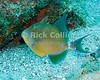 """Queen Triggerfish.  St. Eustatius (Statia), Netherlands Antilles.<br /> <br /> <br /> <br /> <br /> """"St. Eustatius"""" """"Saint Eustatius"""" Statia Netherlands Antilles """"Lesser Antilles"""" Caribbean underwater diving ocean SCUBA dive sand bottom sea floor trigger fish triggerfish"""
