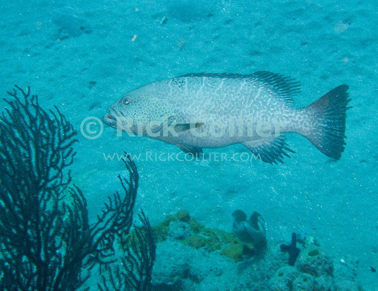 "Saba Underwater - Large fish are common during a scuba dive on this Caribbean island.  A 3- to 4-foot tiger grouper checks us out as we near bottom at the edge of the reef on the ""diamond rock"" dive site.  © Rick Collier"