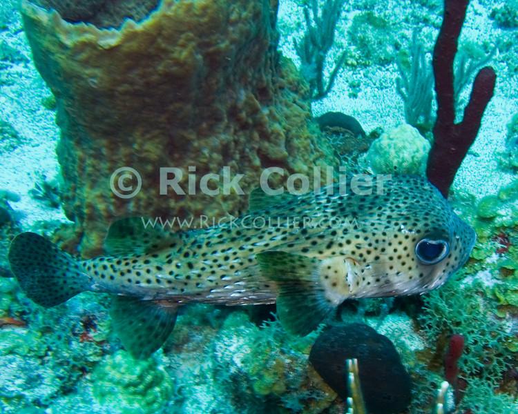 "Porcupinefish swims past a barrel sponge.  St. Eustatius (Statia), Netherlands Antilles.<br /> <br /> <br /> <br /> <br /> ""St. Eustatius"" ""Saint Eustatius"" Statia Netherlands Antilles ""Lesser Antilles"" Caribbean underwater diving ocean SCUBA dive bottom sea floor sea bed reef coral sand rocks fish porcupinefish ""porcupine fish"" barrel sponge"