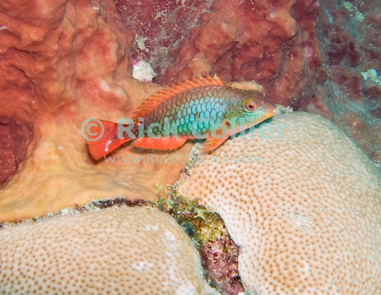 St. Eustatius (Statia) Underwater - A stoplight parrotfish resting on coral.  © Rick Collier