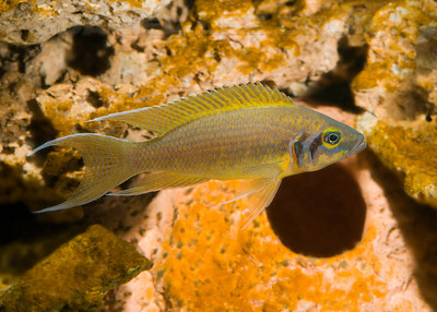 """Male Neolamprologus pulcher """"Daffodil Kambwimba F1"""". Native to lake Tanganyika, Africa. This image was made in one of my aquariums. My fish"""