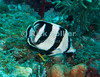 St. Eustatius (Statia) Underwater - Scuba divers frequently see these fish (banded butterflyfish) all along most Caribbean reefs.  © Rick Collier