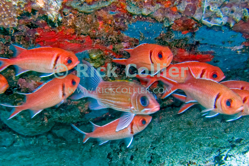 "A school of black banded soldierfish hides under a reef overhang.  St. Eustatius (Statia), Netherlands Antilles.<br /> <br /> <br /> <br /> <br /> ""St. Eustatius"" ""Saint Eustatius"" Statia Netherlands Antilles ""Lesser Antilles"" Caribbean underwater diving ocean SCUBA dive reef fish black banded soldierfish"