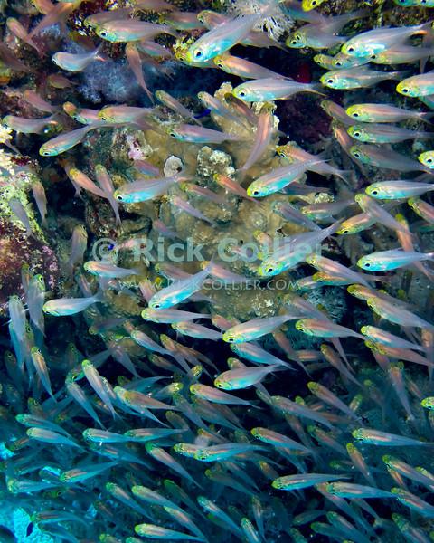 "Red Sea, Egypt -- A school of glassfish (sweepers) hover near a coral head. © Rick Collier / RickCollier.com.<br /> <br /> <br /> <br /> <br /> Egypt; ""Red Sea""; vacation; travel; destination; underwater; uw; ""u/w""; scuba; ""scuba dive""; ""scuba diving""; dive; diving; fish; coral; reef; ""coral reef""; ""dive site""; gardens; ""gardens dive site""; ""middle garden""; ""far garden""; ""tiddle garden""; fish; glassfish; ""glass fish""; sweepers; ""sweeper fish"""