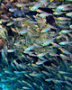 "Red Sea, Egypt -- A school of glassfish (sweepers) hover near a coral head. © Rick Collier / RickCollier.com.<br /> <br /> <br /> <br /> <br /> Egypt; ""Red Sea""; vacation; travel; destination; underwater; uw; ""u/w""; scuba; ""scuba dive""; ""scuba diving""; dive; diving; fish; coral; reef; ""coral reef""; ""dive site""; gardens; ""gardens dive site""; ""middle garden""; ""far garden""; ""tiddle garden""; fish; glassfish; ""glass fish""; sweepers; ""sweeper fish"""