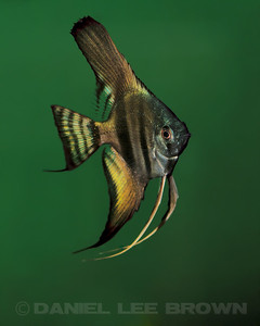 Pinoy Angelfish, nickel size. Purchased from Damon Cartmell, 8-1-11. My fish