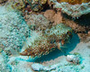 "Baloonfish.  St. Eustatius (Statia), Netherlands Antilles.<br /> <br /> <br /> <br /> <br /> ""St. Eustatius"" ""Saint Eustatius"" Statia Netherlands Antilles ""Lesser Antilles"" Caribbean underwater diving ocean SCUBA dive reef soft coral fish baloonfish"