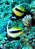"Red Sea, Egypt -- A pair of Red Sea bannerfish. © Rick Collier / RickCollier.com.<br /> <br /> <br /> <br /> <br /> Egypt; ""Red Sea""; vacation; travel; destination; underwater; uw; ""u/w""; scuba; ""scuba dive""; ""scuba diving""; dive; diving; fish; coral; reef; ""coral reef""; ""dive site""; gardens; ""gardens dive site""; ""middle garden""; ""far garden""; ""tiddle garden""; ""bannerfish""; ""banner fish""; ""Red Sea bannerfish"""