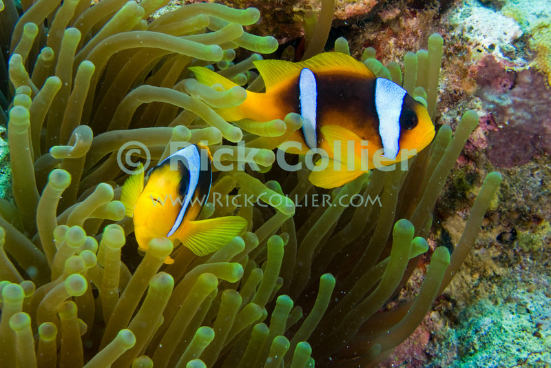 "Red Sea, Egypt -- A pair of anemonefish (""clown fish"") seek refuge in the stinging cells of an anemone's tentacles.  The anemonefish is not naturally immune to the sting of an anemone, but over time coats itself in secretions of its ""home"" anemone so that the stinging cells do not fire when touched by this particular fish. © Rick Collier / RickCollier.com.<br /> <br /> <br /> <br /> Egypt; ""Red Sea""; vacation; travel; destination; underwater; uw; ""u/w""; scuba; ""scuba dive""; ""scuba diving""; dive; diving; coral; reef; ""coral reef""; ""dive site""; Tiran; ""Tiran straits""; ""straits of Tiran""; ""Jackson Reef""; fish; anemone; anemonefish; ""anemone fish""; ""clown fish""; clownfish"