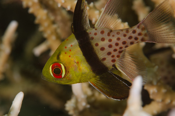 Juvenile pajama cardinal fish at White Beach