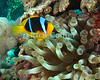 "Red Sea, Egypt -- An anemonefish (""clown fish"") comes out of its ""home anemone"" to distract the photographer and try to drive me away from his home.  The anemonefish is not naturally immune to the sting of an anemone, but over time coats itself in secretions of its ""home"" anemone so that the stinging cells do not fire when touched by this particular fish. © Rick Collier / RickCollier.com.<br /> <br /> <br /> <br /> Egypt; ""Red Sea""; vacation; travel; destination; underwater; uw; ""u/w""; scuba; ""scuba dive""; ""scuba diving""; dive; diving; coral; reef; ""coral reef""; ""dive site""; Tiran; ""Tiran straits""; ""straits of Tiran""; ""Jackson Reef""; fish; anemone; anemonefish; ""anemone fish""; ""clown fish""; clownfish"