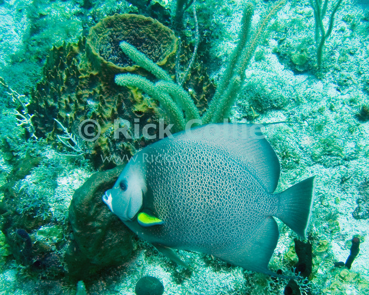 "A gray angelfish swims past a barrel sponge.  St. Eustatius (Statia), Netherlands Antilles.<br /> <br /> <br /> <br /> <br /> ""St. Eustatius"" ""Saint Eustatius"" Statia Netherlands Antilles ""Lesser Antilles"" Caribbean underwater diving ocean SCUBA dive fish coral barrel sponge angelfish ""angel fish"""