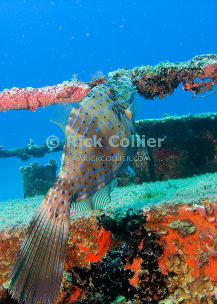 "This scrawled filefish seems very used to divers, as it is almost always cited around the stern deck railings on the wreck of the Chien Tong.  St. Eustatius (Statia), Netherlands Antilles.<br /> <br /> <br /> <br /> <br /> ""St. Eustatius"" ""Saint Eustatius"" Statia Netherlands Antilles ""Lesser Antilles"" Caribbean SCUBA dive diver sea bottom sea floor sand fish wreck shipwreck sunken boat deck railing scrawled filefish"