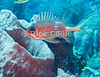 """Saba Underwater - Near the end of my scuba dive above the reef at """"Tent reef,"""" I was surprised to see this fish (a squirrelfish) well away from the reef -- apparently examining me rather than hiding as these fish normally do.  © Rick Collier"""