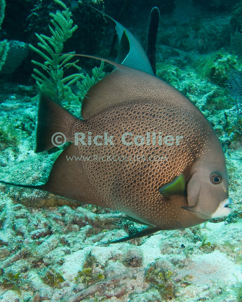 """A large Gray Angelfish cruises past the reef.  These large fish are common throughout the Caribbean.  Taken while scuba diving the """"Chasbo's Corner"""" dive site at Turneffe Atoll, Belize.  © Rick Collier"""