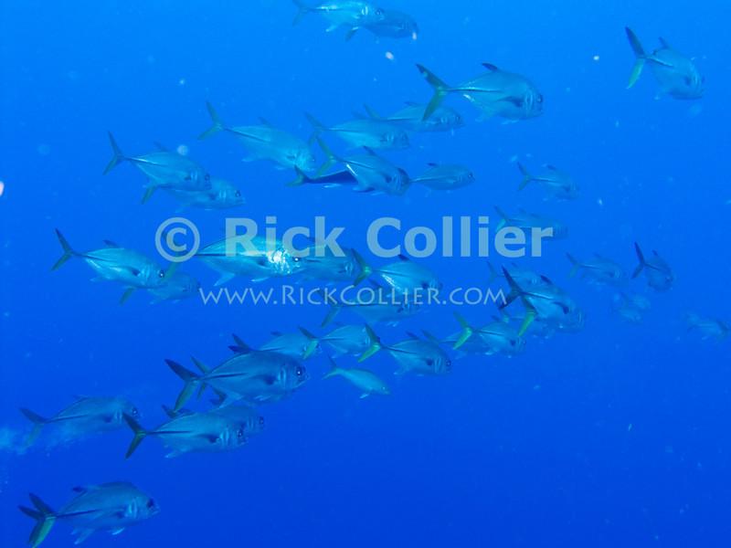 "A school of jacks.  St. Eustatius (Statia), Netherlands Antilles.<br /> <br /> <br /> <br /> <br /> ""St. Eustatius"" ""Saint Eustatius"" Statia Netherlands Antilles ""Lesser Antilles"" Caribbean underwater diving ocean SCUBA dive fish jacks"