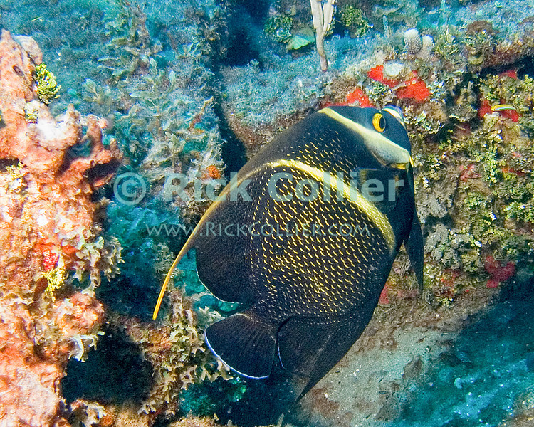 "A French angelfish cruises through a wrecked boat hull.  St. Eustatius (Statia), Netherlands Antilles.<br /> <br /> <br /> <br /> <br /> ""St. Eustatius"" ""Saint Eustatius"" Statia Netherlands Antilles ""Lesser Antilles"" Caribbean SCUBA dive diver sea bottom sea floor sand fish wreck shipwreck sunken boat french angelfish"