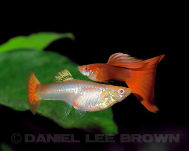 Red Guppy pair from Charles Pratt, via the Sacramento Aquarium Societies monthly auction, 8-6-11. Cropped image. My fish