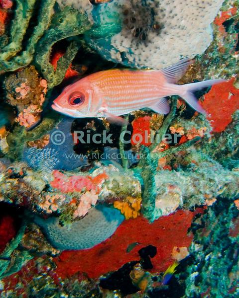 """Squirrelfish.  St. Eustatius (Statia), Netherlands Antilles.<br /> <br /> <br /> <br /> <br /> """"St. Eustatius"""" """"Saint Eustatius"""" Statia Netherlands Antilles """"Lesser Antilles"""" Caribbean underwater diving ocean SCUBA dive diver wreck squirrel squirrelfish sponge sponges fish"""