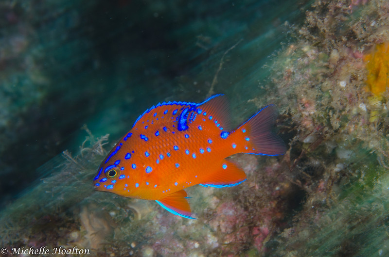Slow shutter speed shot of a zippy juvenile garibaldi found at San Clemente Island.