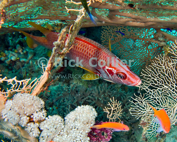 "Red Sea, Egypt -- A Red Sea Sabre Squirrelfish hides in a gap between the reef and a sea fan coral. © Rick Collier / RickCollier.com.<br /> <br /> <br /> <br /> <br /> <br /> <br /> <br /> Egypt; ""Red Sea""; vacation; travel; destination; underwater; uw; ""u/w""; scuba; ""scuba dive""; ""scuba diving""; dive; diving; coral; reef; ""coral reef""; ""dive site""; Tiran; ""Tiran straits""; ""straits of Tiran""; ""Jackson Reef""; fish; squirrel; ""squirrel fish""; squirrelfish; ""sabre squirrelfish""; ""saber squirrelfish""; ""Red Sea Sabre Squirrelfish"""