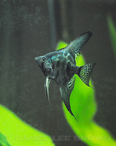 Pinoy Clown Angelfish, nickel size.  Purchased from Damon Cartmell, 7-23-11. My fish