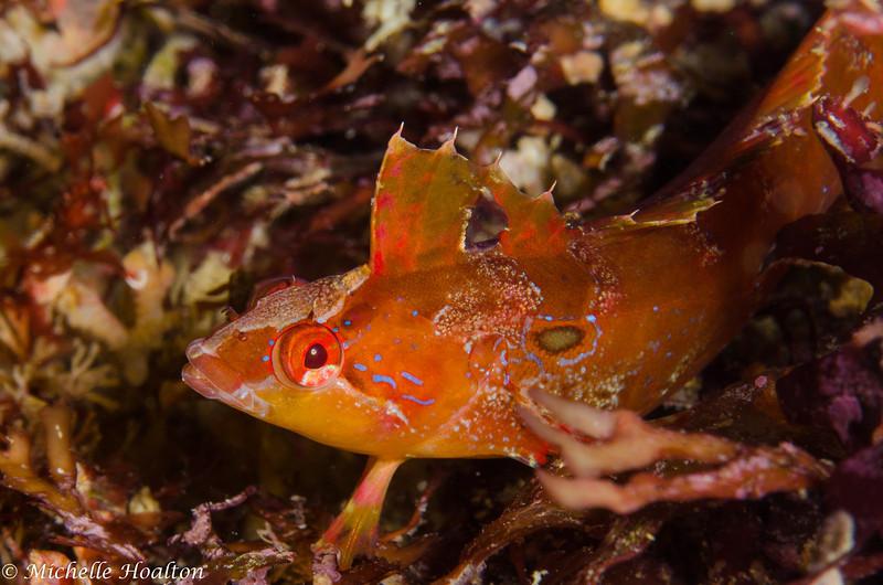 Kelp fish revealing itself among the like-colored algae.