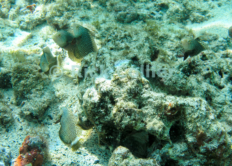 A group of imature antheas emerge from their hiding place under a coral outcropping.  Kahaluu Bay, Kona side, the Big Island, Hawaii.<br /> <br /> <br /> <br /> <br /> <br /> Hawai'i Hawaii Hakaluu Bay Kona Big Island underwater snorkel snorkeling scuba u/w fish reef coral anthea antheas