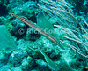 "Trumpetfish.  St. Eustatius (Statia), Netherlands Antilles.<br /> <br /> <br /> <br /> <br /> ""St. Eustatius"" ""Saint Eustatius"" Statia Netherlands Antilles ""Lesser Antilles"" Caribbean underwater diving ocean SCUBA dive reef soft coral fish trumpetfish"