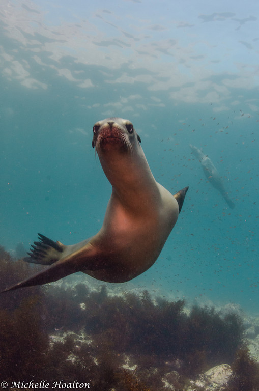 Dozens of female and juvenile sea lions curiously swam over to the foreign creatures blowing bubbles holding foreign light producing objects.