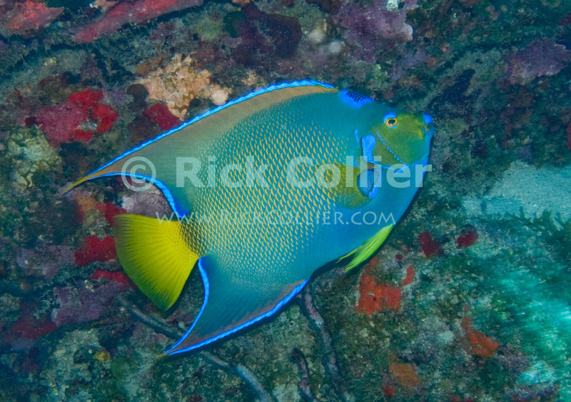 St. Eustatius (Statia) Underwater - During a scuba dive, I saw another diver trying to get a picture chase this fish (a queen angelfish) toward me along a wall.  So I set up on a spot and tried to press the shutter at just the right time.  © Rick Collier