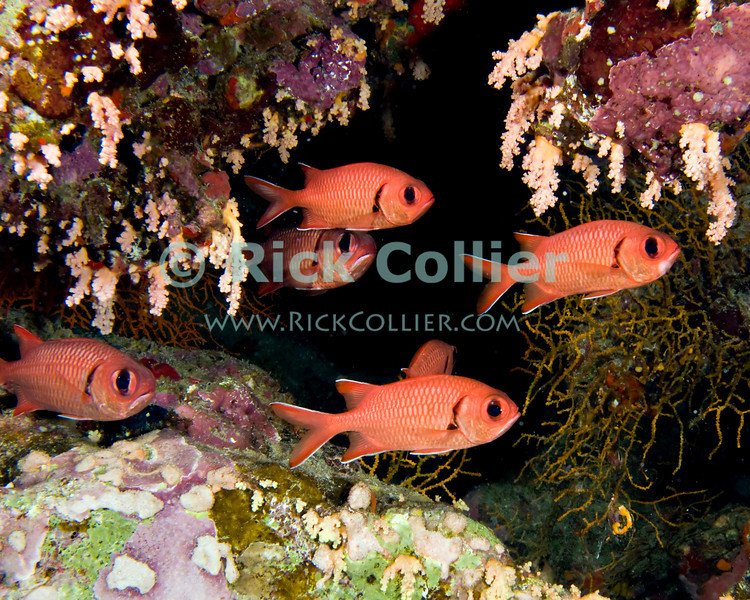 "Red Sea, Egypt -- Soldierfish school in a small cave. © Rick Collier / RickCollier.com.<br /> <br /> <br /> <br /> <br /> <br /> Egypt; ""Red Sea""; vacation; travel; destination; underwater; uw; ""u/w""; scuba; ""scuba dive""; ""scuba diving""; dive; diving; coral; reef; ""coral reef""; ""dive site""; ""Ras Muhammad""; ""Ras Mohamed""; ""national park""; ""underwater park""; ""Ras Muhammad National Park""; ""nature reserve""; shark; ""shark reef""; fish; soldier; ""soldier fish""; soldierfish"