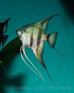 Pinoy Angelfish, 10-12-11. Purchased from Damon Cartmell. My fish