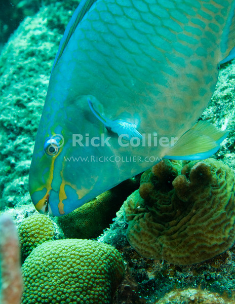 "Diving Bonaire, Netherland Antilles -- A parrotfish comes in for a bite of reef coral.  (""Andrea 1"" dive site)  © Rick Collier<br /> <br /> <br /> <br /> <br /> Bonaire; ""Netherlands Antilles""; Caribbean; tropic; tropical; vacation; destination; scuba; diving; dive; ""scuba diving""; ""Andrea 1""; ""Andrea I""; fish; parrotfish; ""parrot fish""; coral; reef;"