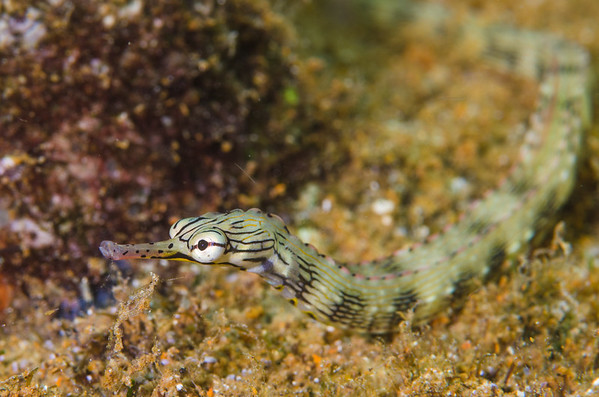 Pipefish at White Beach