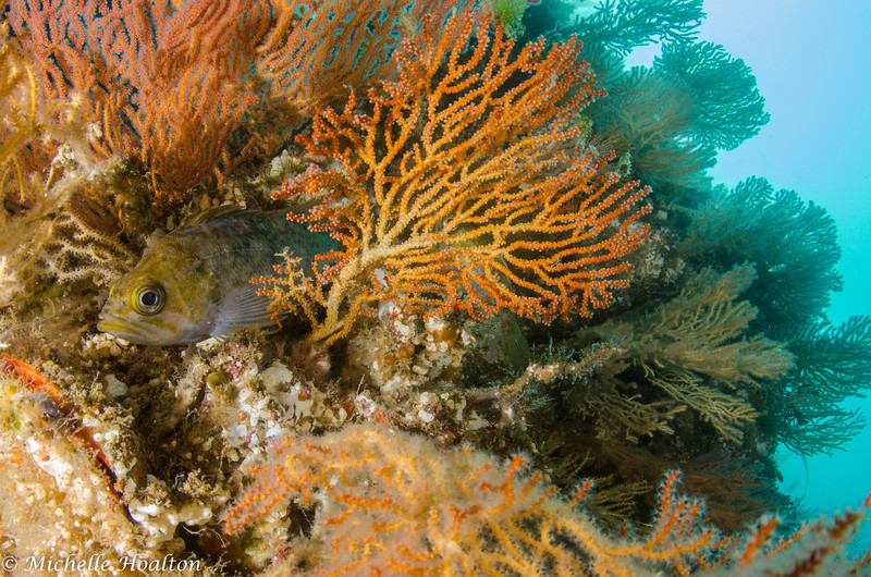 Gorgonians, or sea fans, implant bright and diverse color-scapes within our kelp forests.