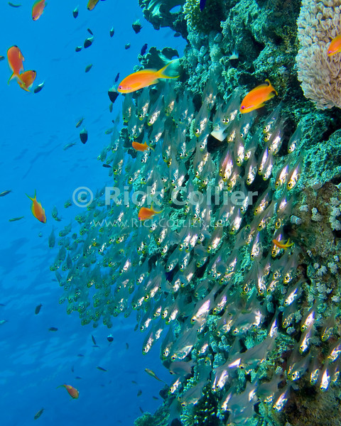 "Red Sea, Egypt -- A school of glassfish (sweepers) and some of the ubiquitous antheas hover near a coral head. © Rick Collier / RickCollier.com.<br /> <br /> <br /> <br /> <br /> Egypt; ""Red Sea""; vacation; travel; destination; underwater; uw; ""u/w""; scuba; ""scuba dive""; ""scuba diving""; dive; diving; fish; coral; reef; ""coral reef""; ""dive site""; gardens; ""gardens dive site""; ""middle garden""; ""far garden""; ""tiddle garden""; fish; glassfish; ""glass fish""; sweepers; ""sweeper fish""; anthea;"