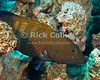 "Red Sea, Egypt -- A tiger grouper sits in a gap in the reef. © Rick Collier / RickCollier.com.<br /> <br /> <br /> <br /> <br /> <br /> Egypt; ""Red Sea""; vacation; travel; destination; underwater; uw; ""u/w""; scuba; ""scuba dive""; ""scuba diving""; dive; diving; fish; coral; reef; ""coral reef""; ""dive site""; gardens; ""gardens dive site""; ""middle garden""; grouper; ""tiger grouper""; ""spotted grouper"""