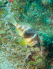 St. Eustatius (Statia) Underwater - This fish, the banded hamlet, is common on Caribbean reefs and is probably familiar to any scuba diver, but is very shy.  This joins me in fighting the storm surge at 70 feet deep on our last day.  © Rick Collier