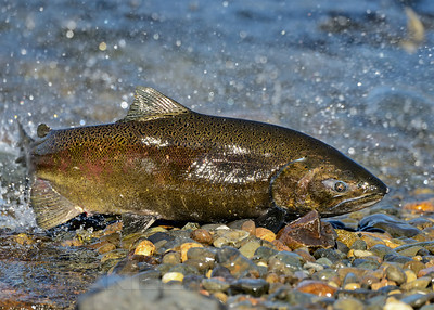 Chinook Salmon near the Nimbus Fish Hatchery, Sacramento County, CA. 11-13-2013.