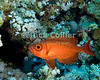 "Red Sea, Egypt -- A bigeye hovers near the reef. © Rick Collier / RickCollier.com.<br /> <br /> <br /> <br /> Egypt; ""Red Sea""; vacation; travel; destination; underwater; uw; ""u/w""; scuba; ""scuba dive""; ""scuba diving""; dive; diving; fish; coral; reef; ""coral reef""; ""dive site""; gardens; ""gardens dive site""; ""middle garden""; bigeye; ""big eye""; soapfish"