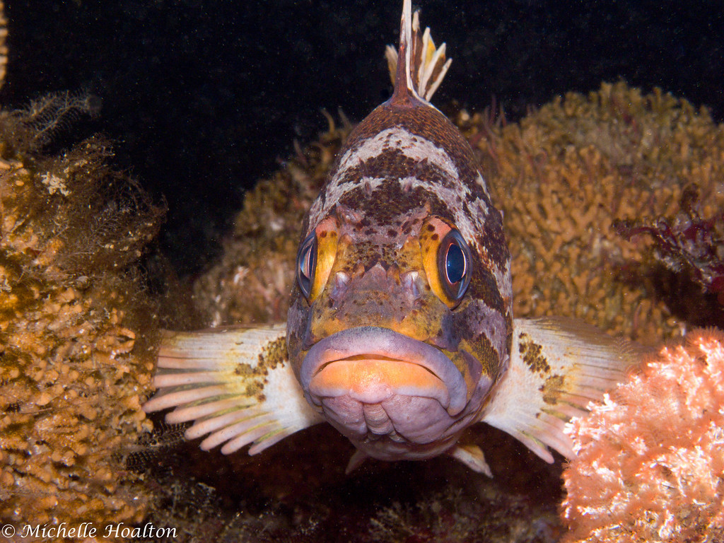 This gopher rockfish rests still on the reef and relies on its camoflauge and poisonous spine to protect it from potential predators.